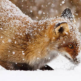 Roeselien Raimond - Fox First Snow