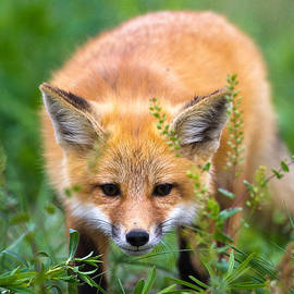 Merle Ann Loman - Fox kit hiding in the grass