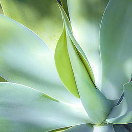 Julie Palencia - Fox Tail Agave