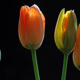 Juergen Roth - French Tulips