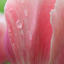 The Art Of Marilyn Ridoutt-Greene - Fresh Morning Tulips