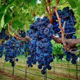 Fresh on the Vine