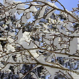 Photographic Art and Design by Dora Sofia Caputo - Fresh Snow on Magnolia Tree