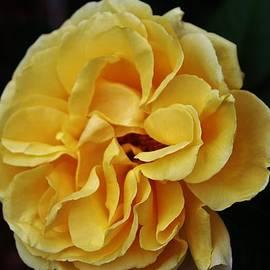 Cynthia Guinn - Friendship Rose