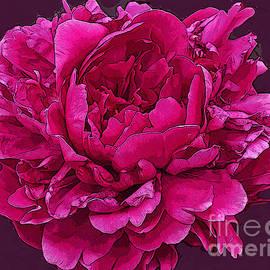Maureen Tillman - Frilly Lush Bright Pink Peony