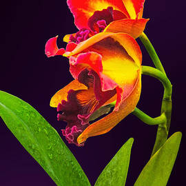 Susan Savad - Frilly  Red and Yellow Orchids
