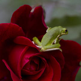 Kathy Clark - Frogs and Roses