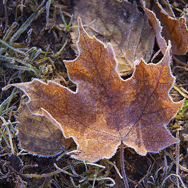 Susan Crossman Buscho - Frosted Leaf