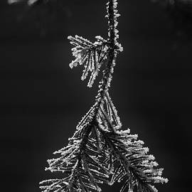 Daniel Thompson - Frosted Pine Branch
