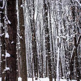 Sara Frank - Frozen Forest