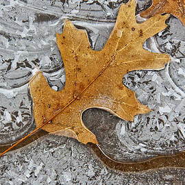 Tom and Pat Cory - Frozen Leaf # 2