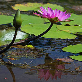 Suzanne Gaff - Fuchsia Water Lily - Grace and Beauty