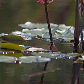Suzanne Gaff - Fuchsia Water Lily XI