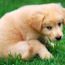 Christina Rollo - Fuzzy Golden Puppy