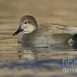 Bryan Keil - Gadwall on icy pond