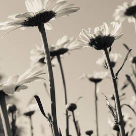 Julia Wilcox - Garden Daisies