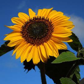 Colette V Hera  Guggenheim  - Garden Sunflower October