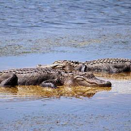 Cynthia Guinn - Gators Napping