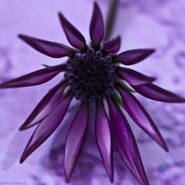 Sandra Foster - Gazania Flower Macro - Lavender Background