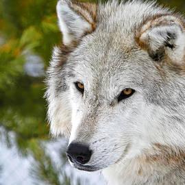 Athena Mckinzie - Gaze Of A Wolf