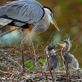 Larry Nieland - Great Blue Heron Chicks