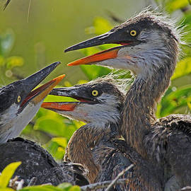 Larry Nieland - Great Blue Heron Triplets