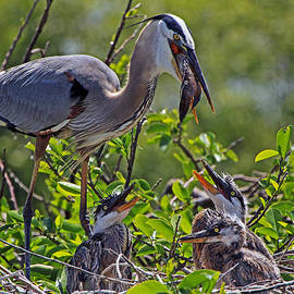 Larry Nieland - Great Blue Heron Lunch Alfresco