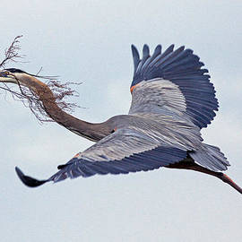 Larry Nieland - Great Blue Heron Nestbuilder