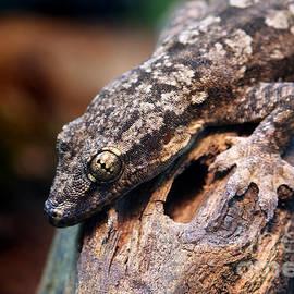 Brandon Alms - Gecko