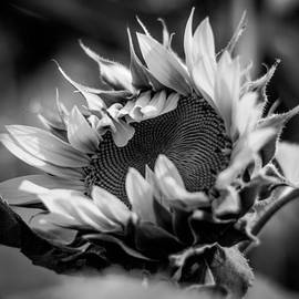 Jerri Moon Cantone - Genesis of a Sunflower