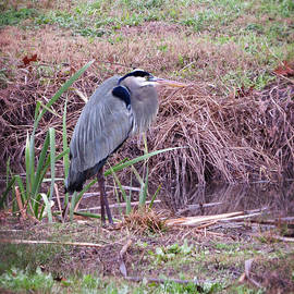 Ella Kaye Dickey - Gentle Giant of the Wetland - Great Blue Heron