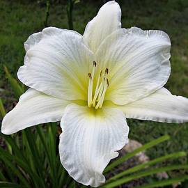 MTBobbins Photography - Gentle Shepherd Daylily