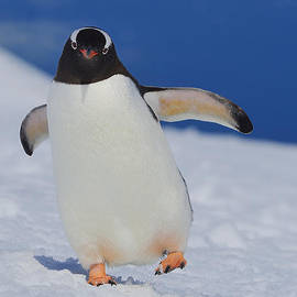 Tony Beck - Gentoo Waddle