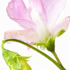 Anne Gilbert - Geranium Pink