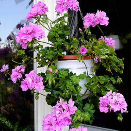 Kerstin Ivarsson - Geranium plant  with violet flowers in hanging basket