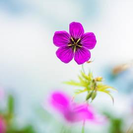 Sarah-fiona  Helme - Geranium Summer