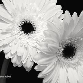 Jeannie Rhode Photography - Gerbera Daisy Sisters