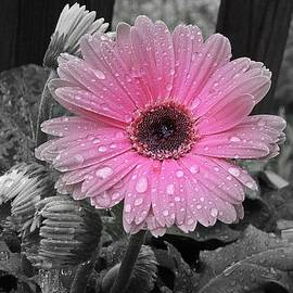 MTBobbins Photography - Gerbera Pink