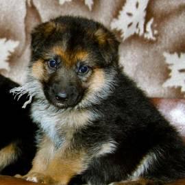 Karon Melillo DeVega - German Shepherd Puppy