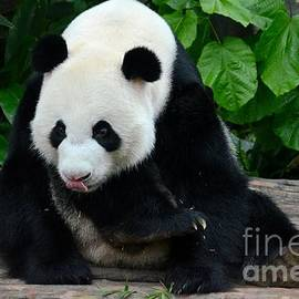 Imran Ahmed - Giant Panda with tongue touching nose at River Safari Zoo Singapore