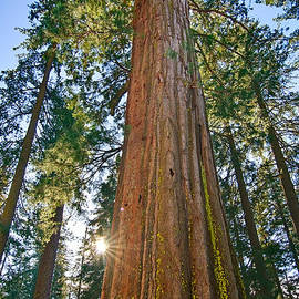 Jamie Pham - Giant Sequoia Trees of Tuolumne Grove in Yosemite National Park.