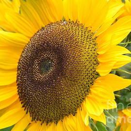 DejaVu Designs - Giant Sunflower
