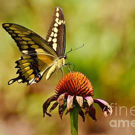 Kathy Baccari - Giant Swallowtail Butterfly