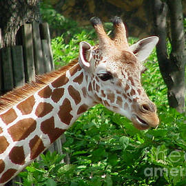 Gary Gingrich Galleries - Giraffe-09034