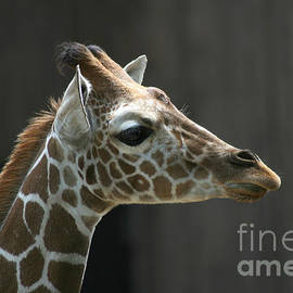 Gary Gingrich Galleries - Giraffe-7467