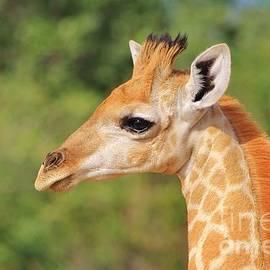 Hermanus A Alberts - Giraffe Baby - Posture of Life