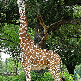 Gary Gingrich Galleries - Giraffe Eats-09053