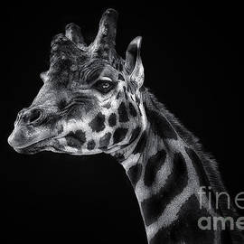 Remi D Photography - Giraffe portrait