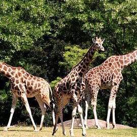 Pamela S Eaton-Ford - Giraffes