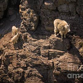 Priscilla Burgers - Glacier National Park Mountain Goats